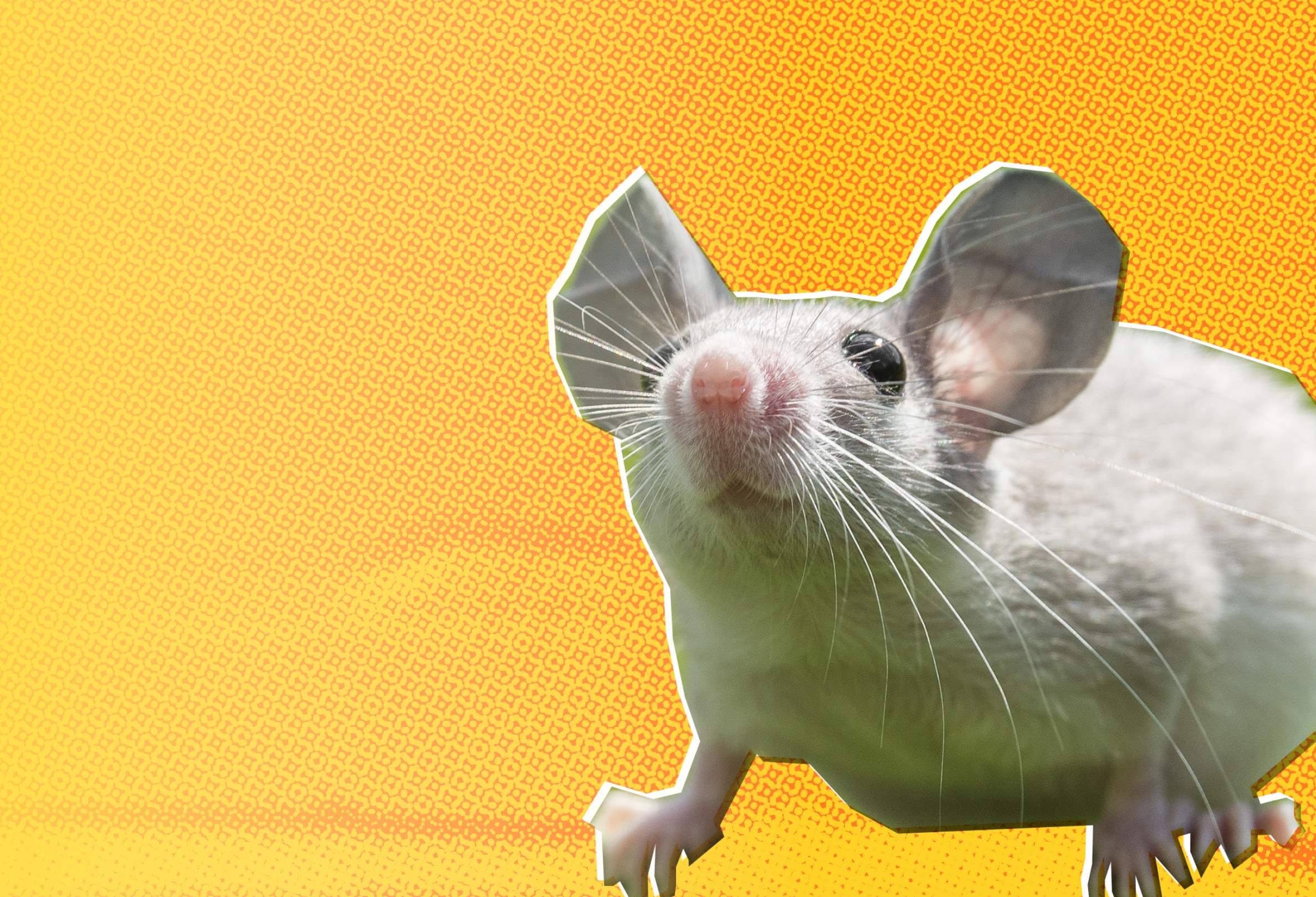 A small white mouse looks up hopefully against a stylized yellow background
