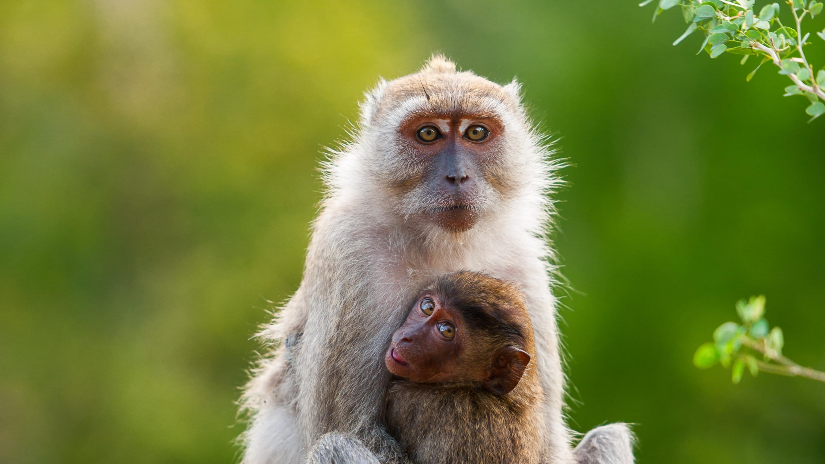A long-tailed macaque and her offspring sit among lush green trees