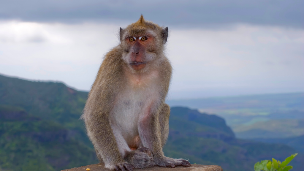 A macaque monkey in its habitat