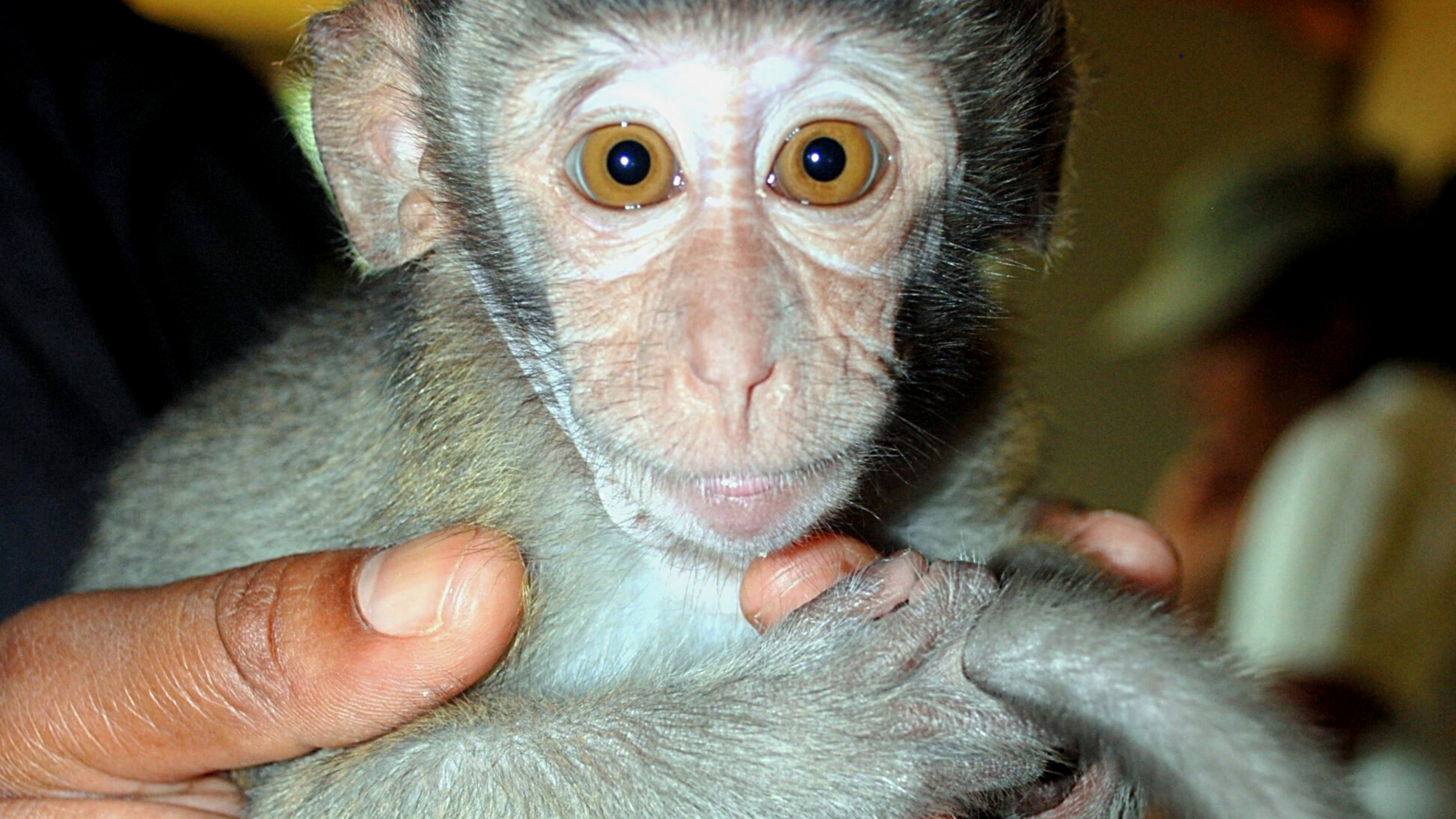 Photo of a young monkey held by human hands