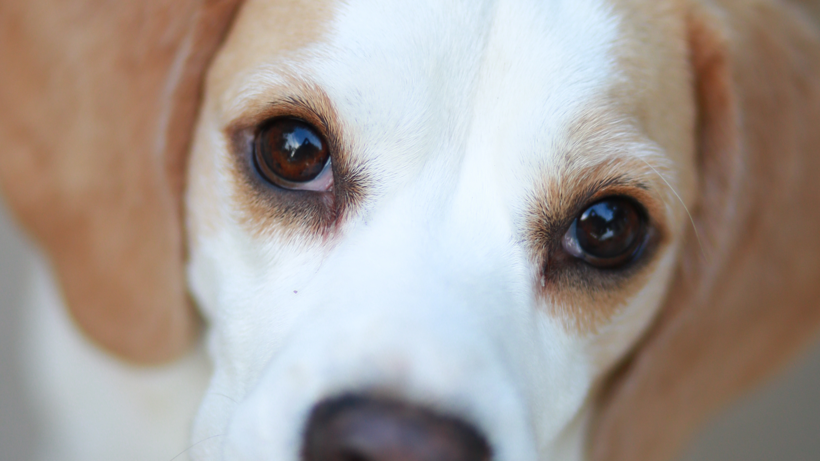 A beagle lifts her eyes up