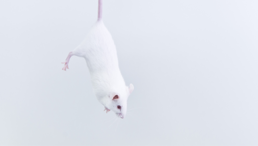 Photo of a white rodent hanging by her tail