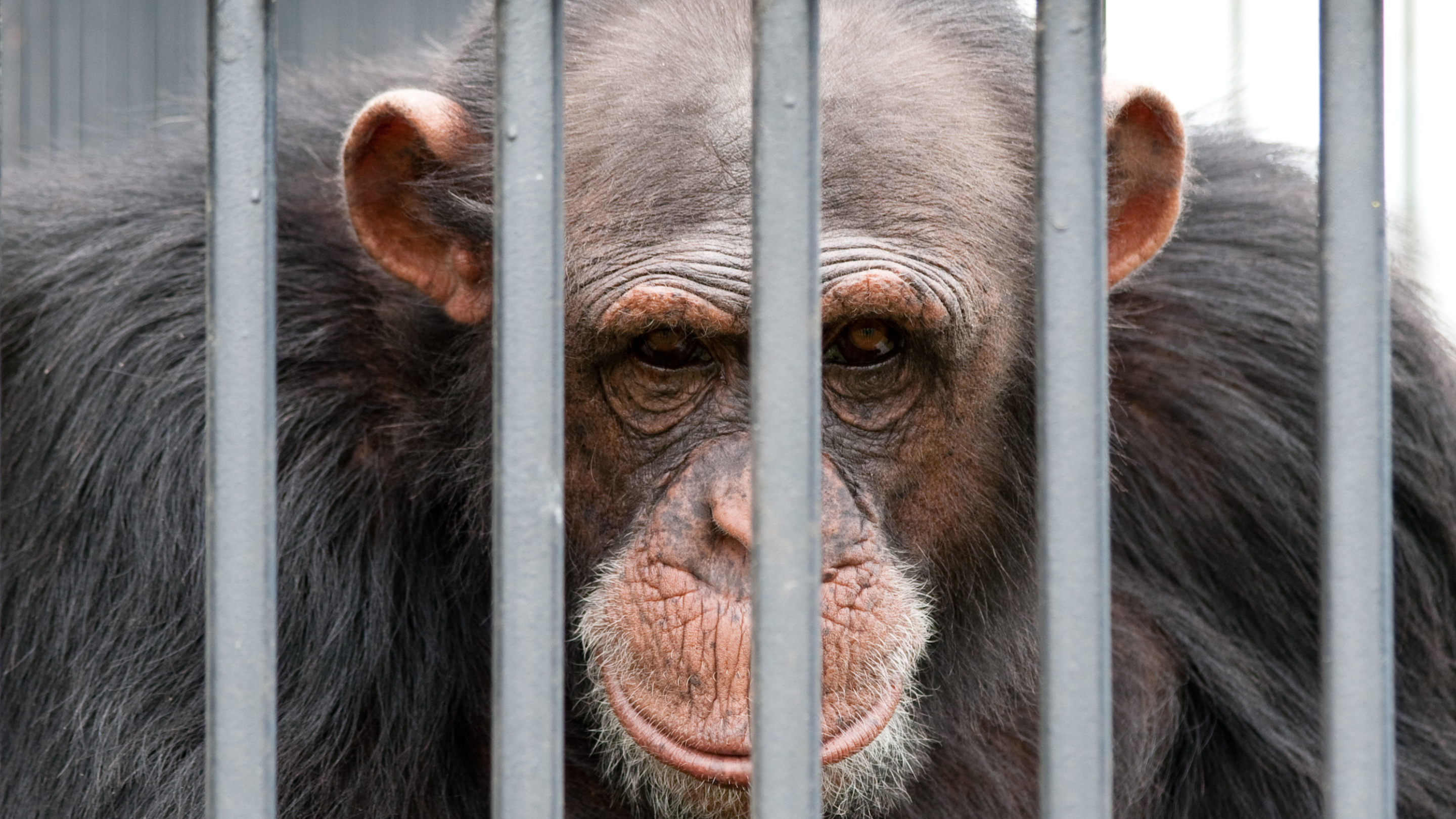 Photo of a chimpanzee looking down behind cage bars