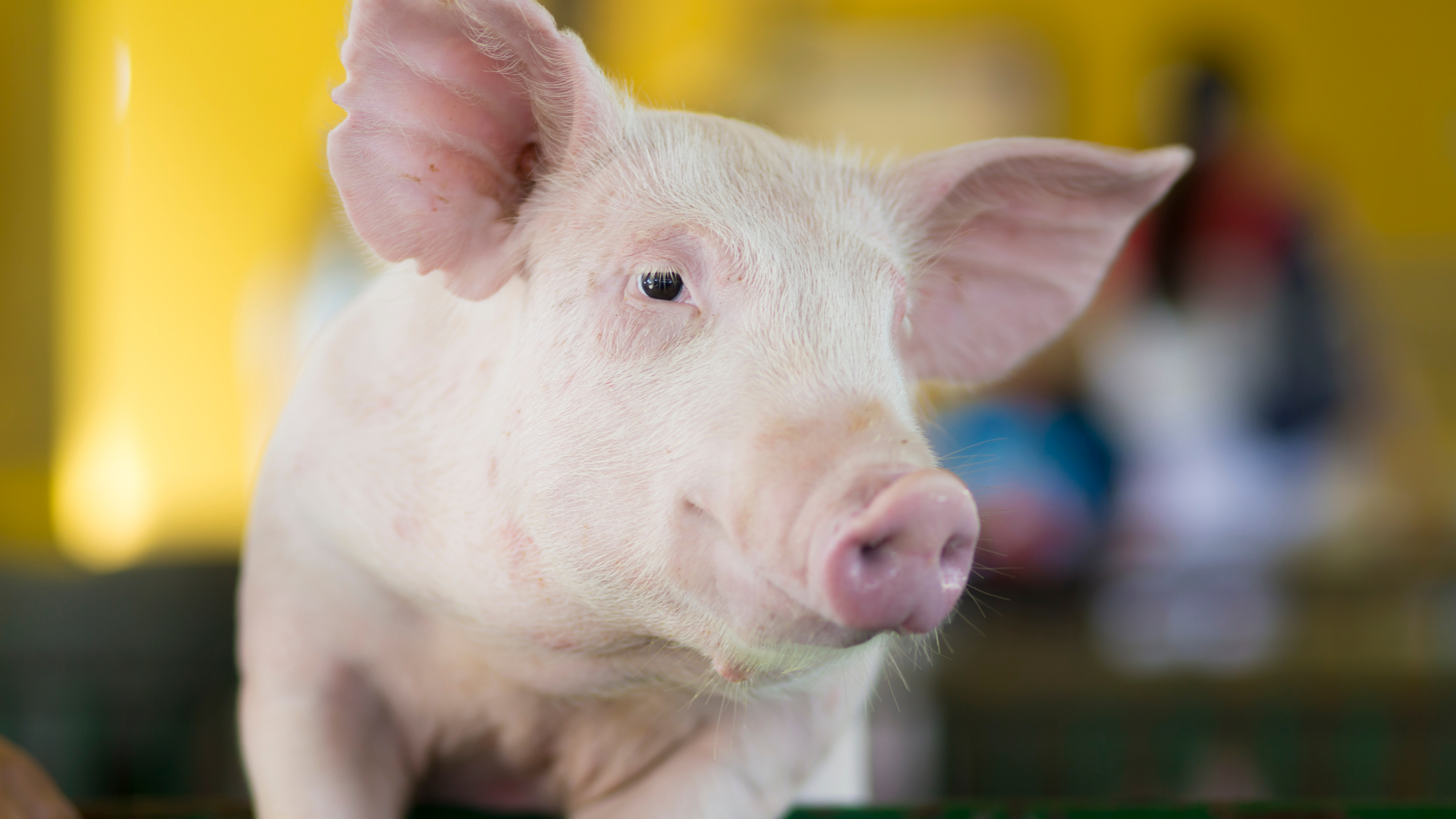 Photo of a clean, pink pig's face