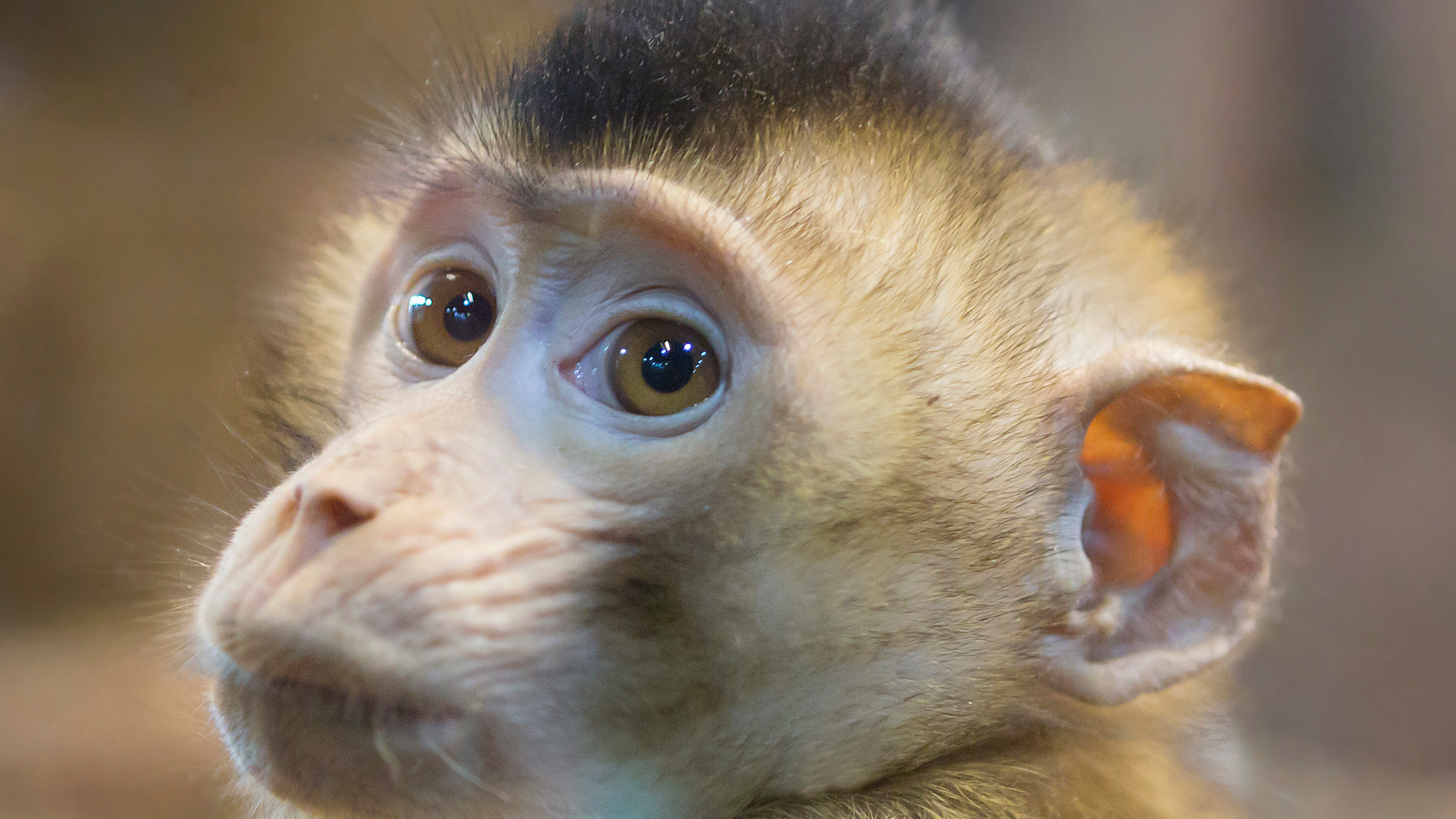 Image of a young rhesus macaque, head turned over his shoulder