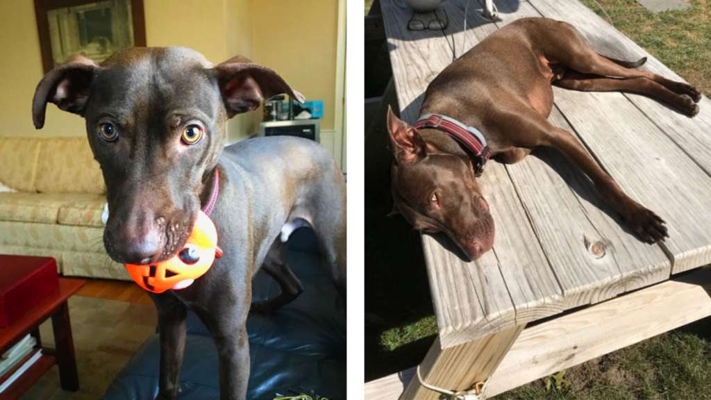 At left, Cooper holds a toy pumpkin in his mouth. At right, Cooper naps on a sunny picnic table.