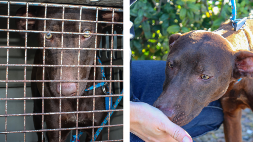 At left, during his rescue, Cooper is seen through rusted cage bars. At right, the hand of a rescue team member feeds Cooper a treat.