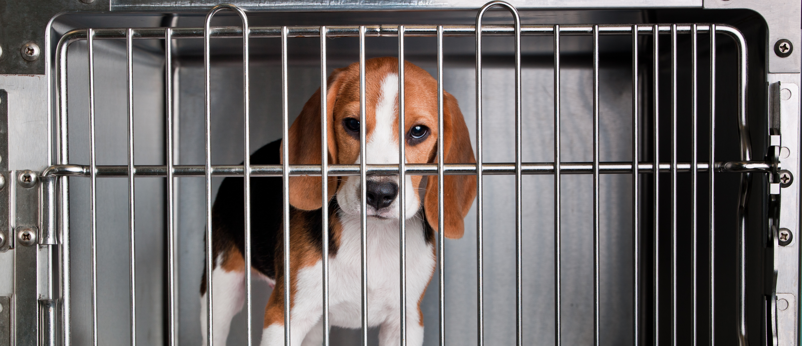 A photo of a beagle in a steel cage