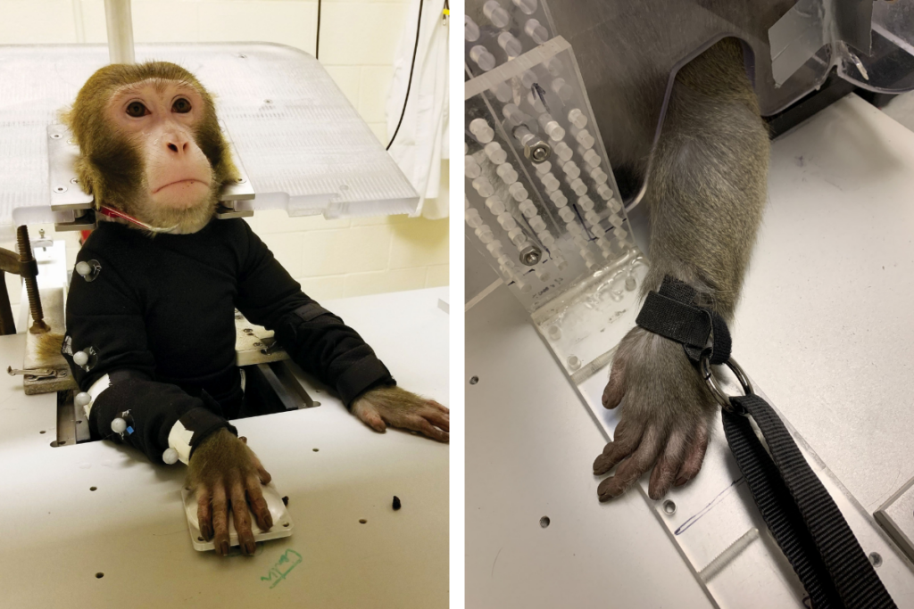 At left, a monkey sits, head, neck, and arm restrained, in a chair at ASU's primate research laboratory. At right, a monkey's wrist is shown tied down with a thick, black strap.