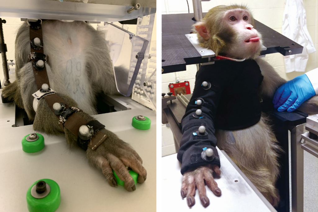 At left, a monkey's arm is tied down while he sits in a restraint chair. At right, a monkey wears a black jacket, meant to restrict his movement further while he remains in the restraint chair.