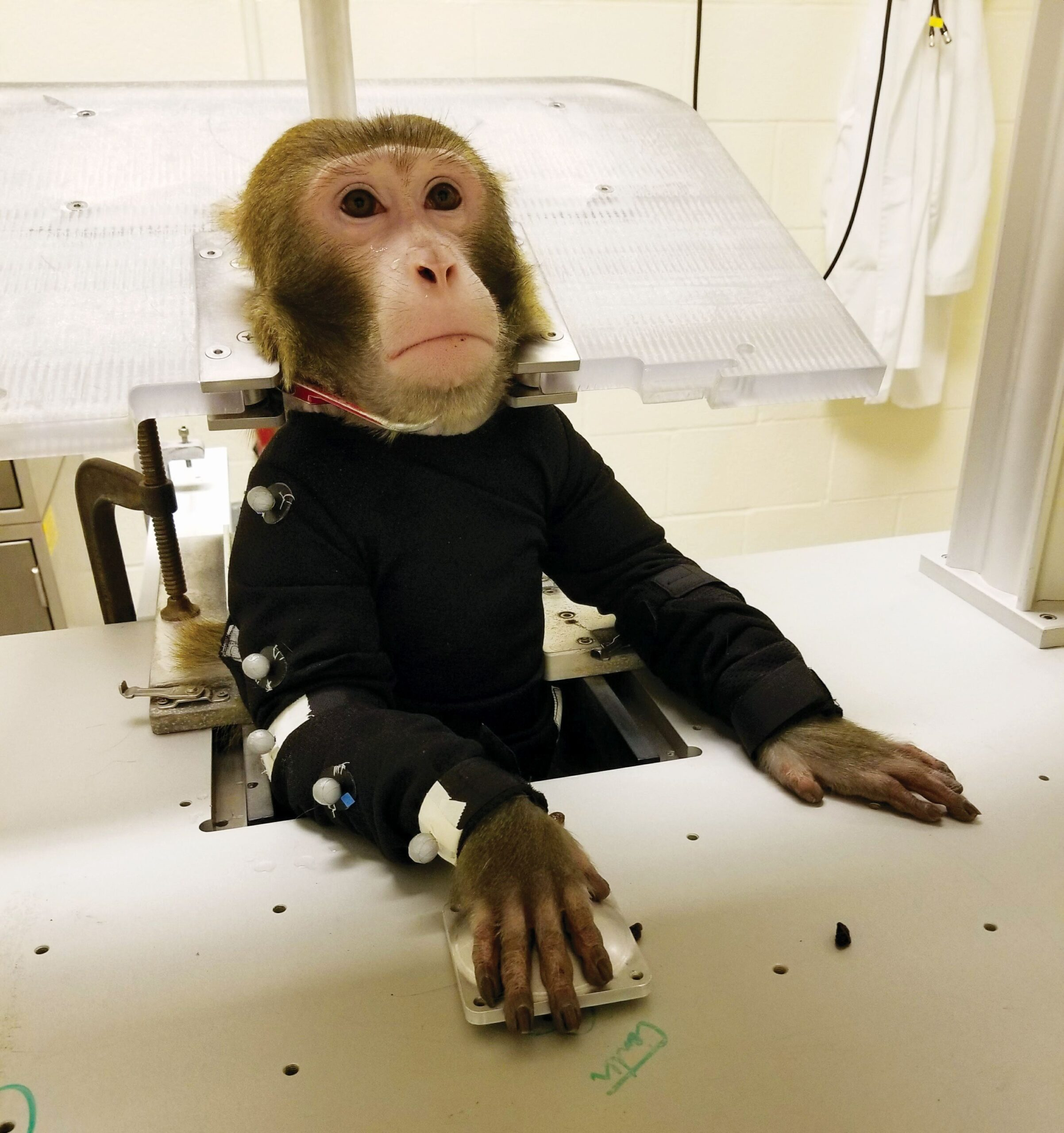 Photo #2 of a monkey in restraints at Arizona State University's primate research laboratory