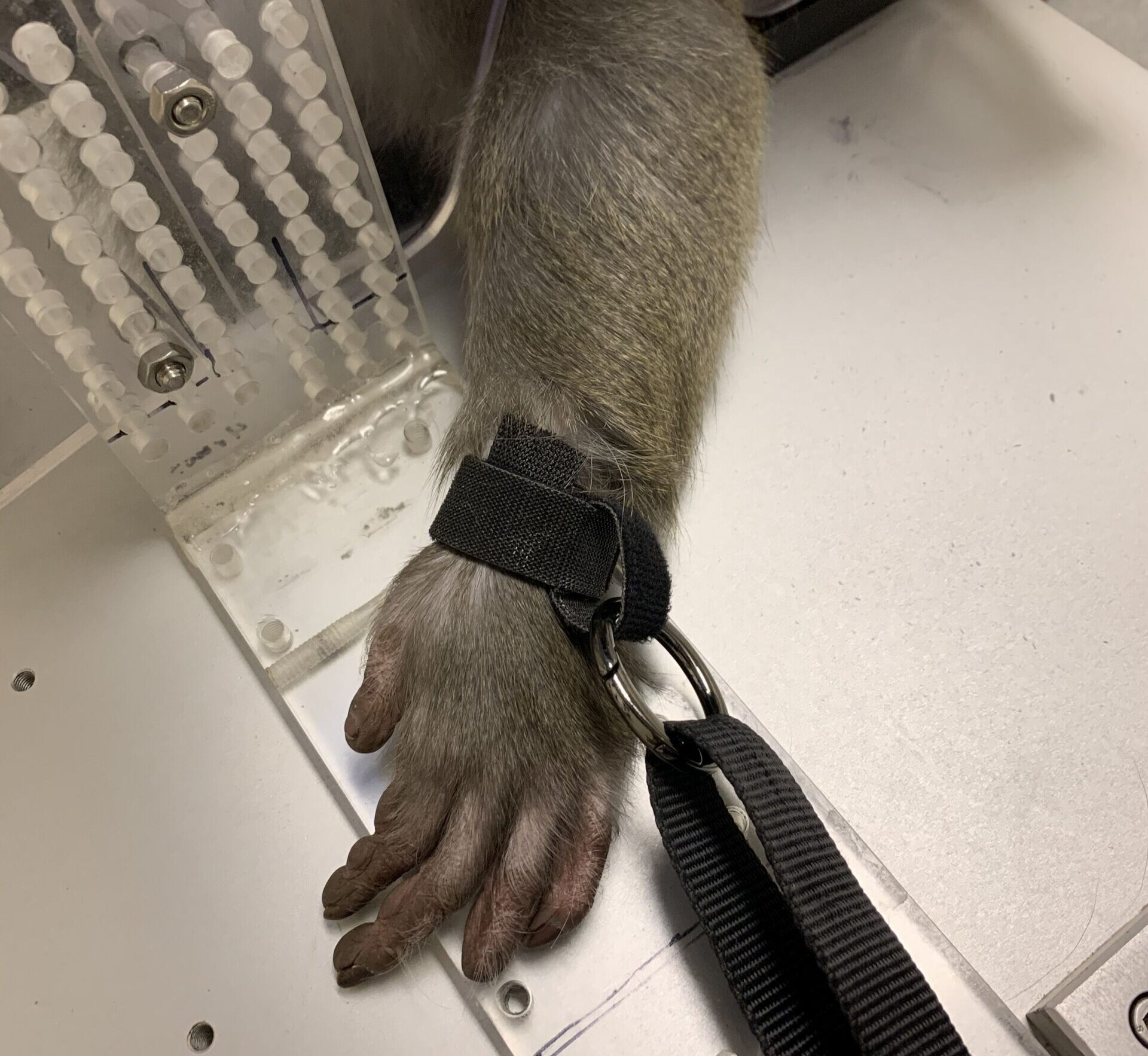 Photo #4 of a monkey in restraints at Arizona State University's primate research laboratory