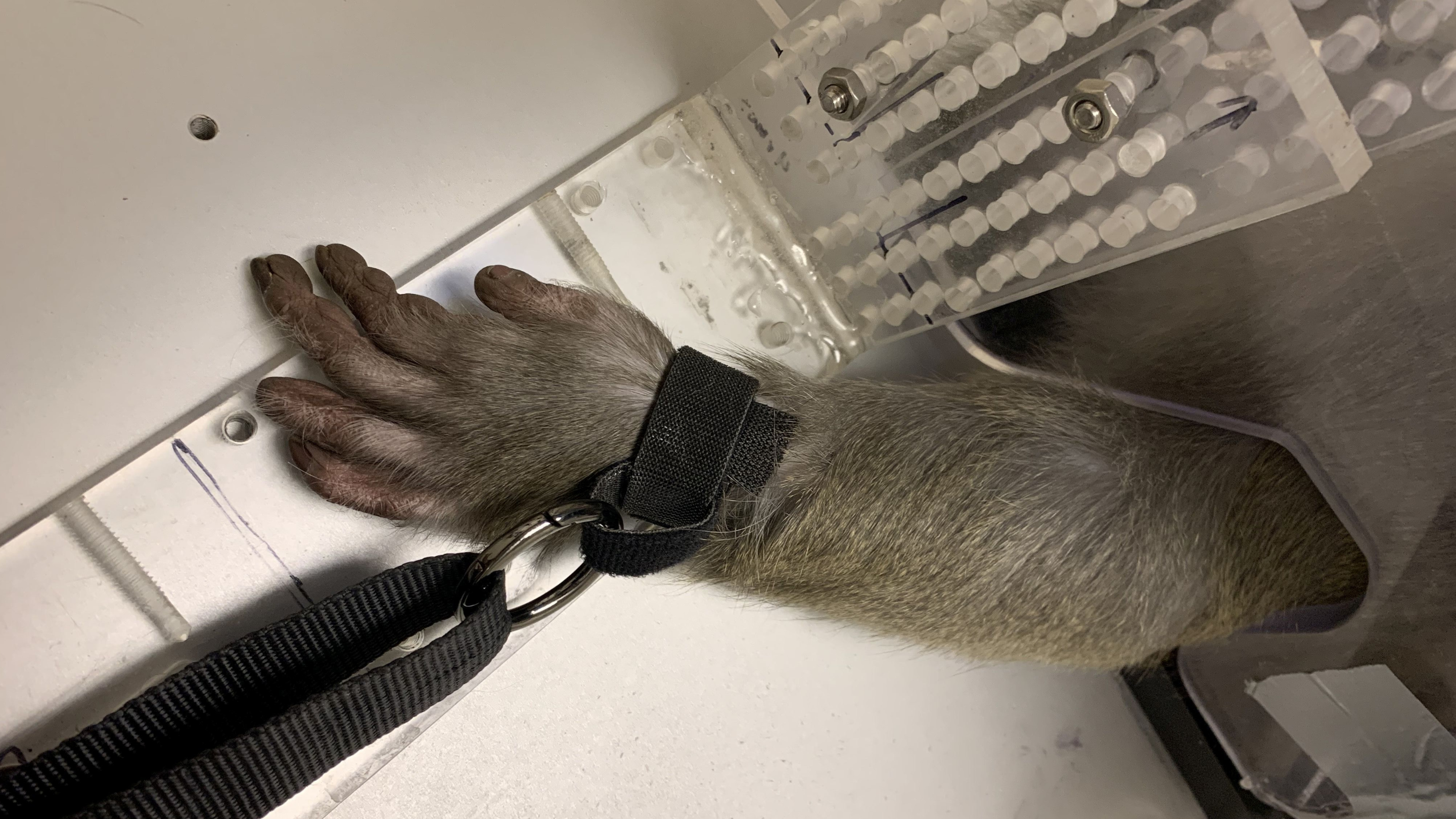 A monkey's arm is tied down, restrained at Arizona State University's primate research laboratory