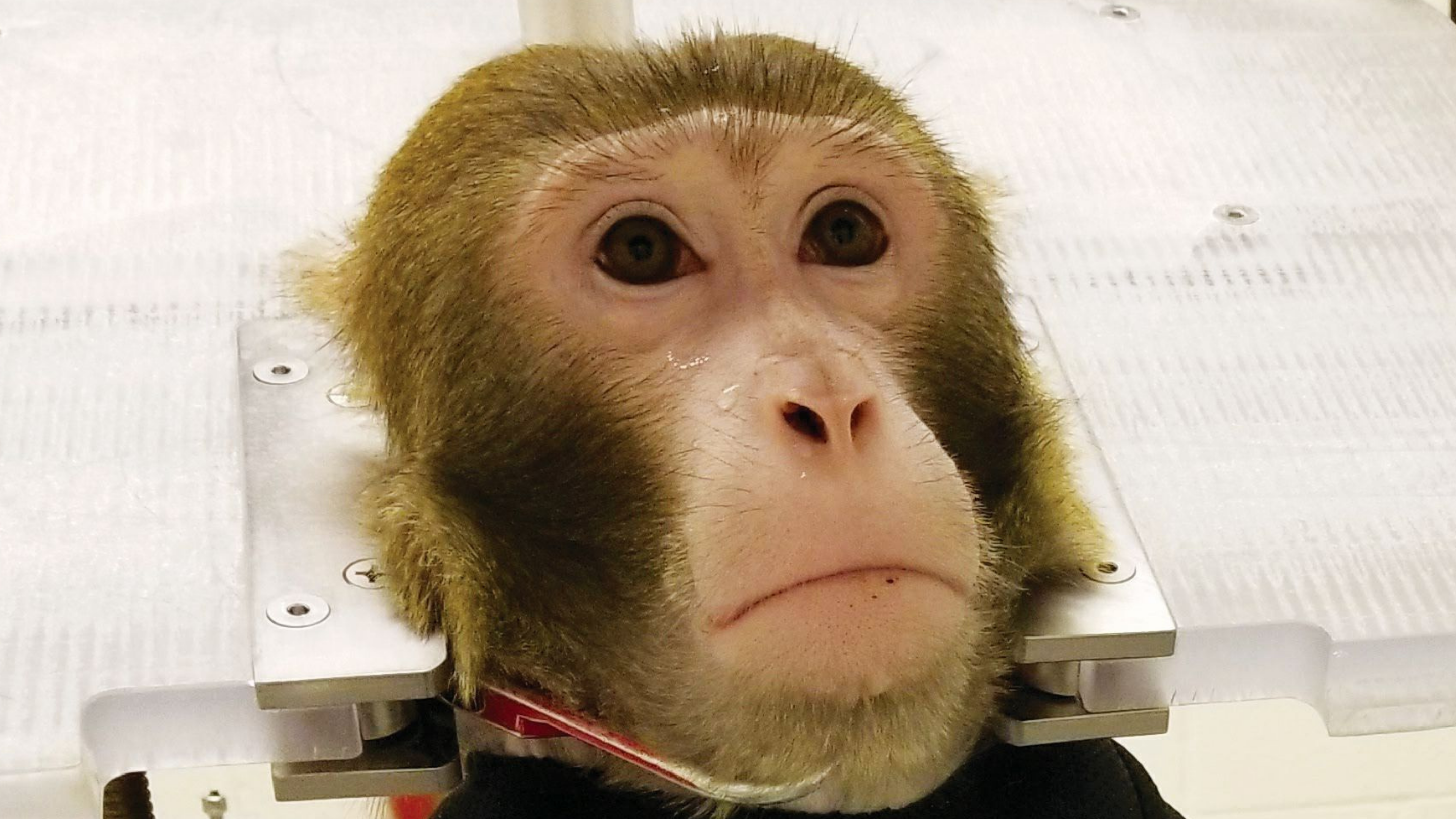 Photo of a monkey restrained at the neck in Arizona State University's primate research laboratory