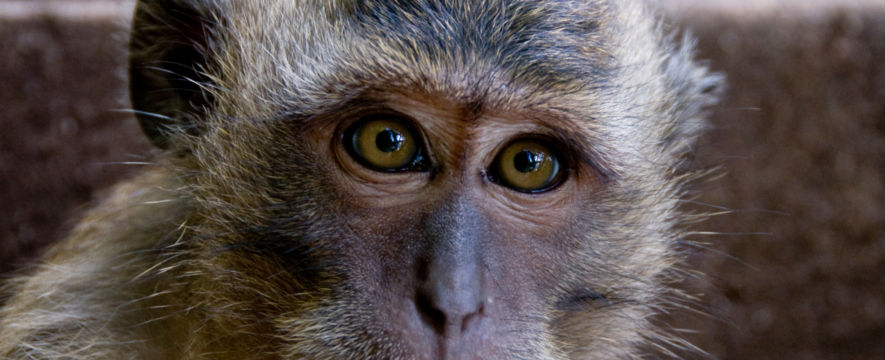 A macaque's amber eyes